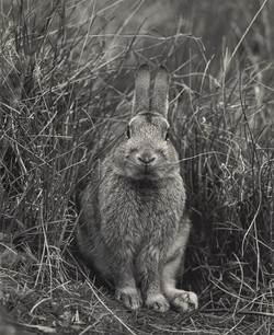 "Rabbit, Captive, near Taita, 1968 [""And who are you?""]"