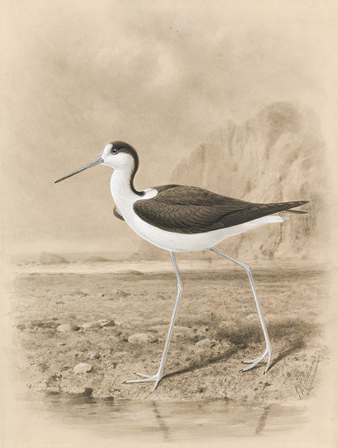 New Zealand River Stilt in Habitat