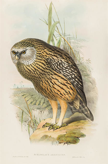 Sceloglaux albifacies (Whekau, extinct Laughing Owl)