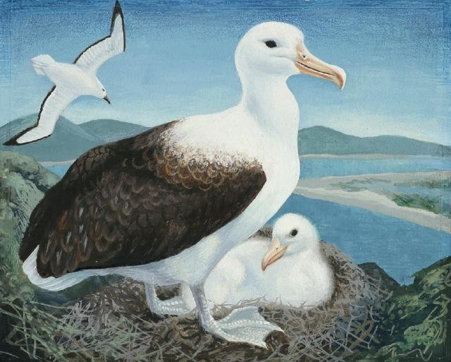 Toroa / Northern Royal Albatross