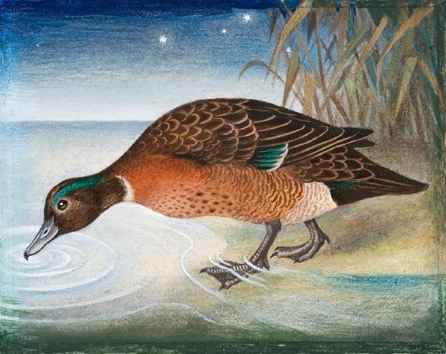 Pāteke / Brown Duck or Brown Teal