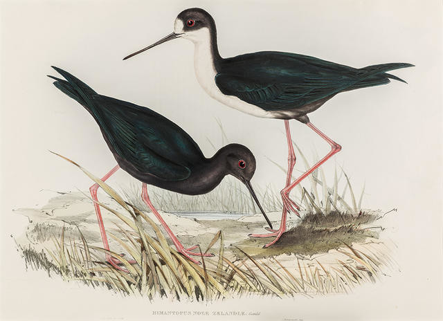 Himantopus Novae-Zelandiae (Kakī / New Zealand stilt)