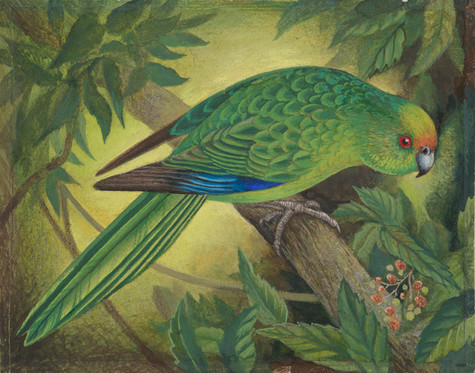 Eileen Mayo Kākāriki Karaka / Orange-fronted Parakeet 1976. Gouache and coloured pencil. Collection of Christchurch Art Gallery Te Puna o Waiwhetū, purchased 2005