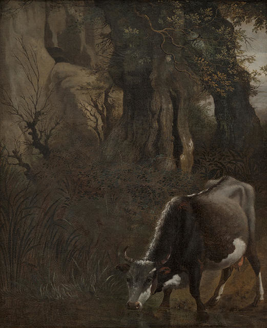 A Cow Drinking