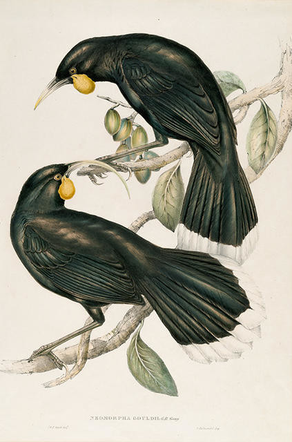Neomorpha Gouldii (The Huia)