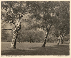 Birch Trees - Hagley Park - Christchurch