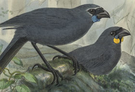 Walter Buller Glaucopis Wilsoni [North Island Kōkako], Glaucopis Cinerea [South Island Kōkako], from A History of the Birds of New Zealand, London, 1873. Collection of Christchurch City Libraries Ngā Kete Wānanga-o-Ōtautahi