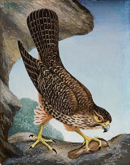 Kārearea / New Zealand Falcon
