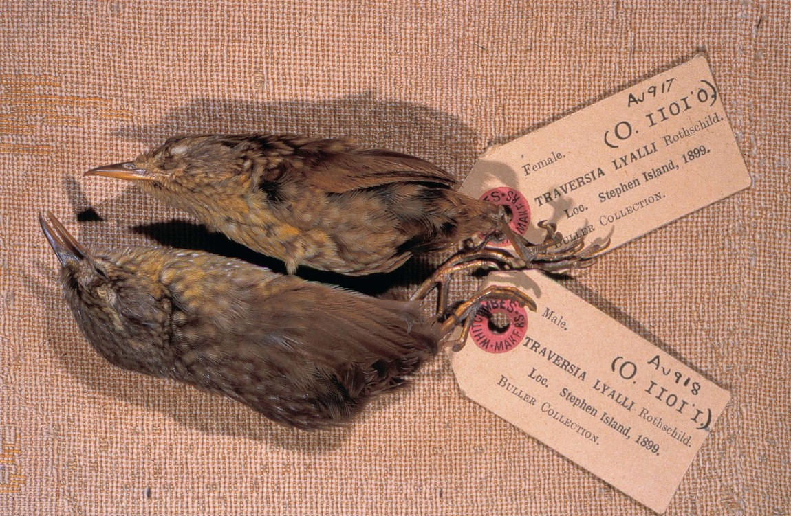 Fewer than twenty skins of Lyall's wren have been preserved. Originally in Buller's collection, these two are held in the Canterbury Museum collections. The collector is unknown but from the collection date, it may have been H.H. Travers.