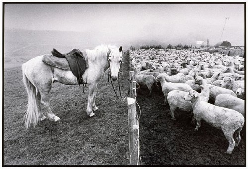 Horse and Sheep, Pitt Island Aug 1995, Anthony McKee